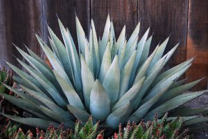 maguey01